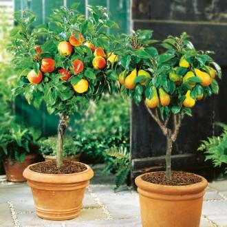 Zwerg-Obstbäumchen
