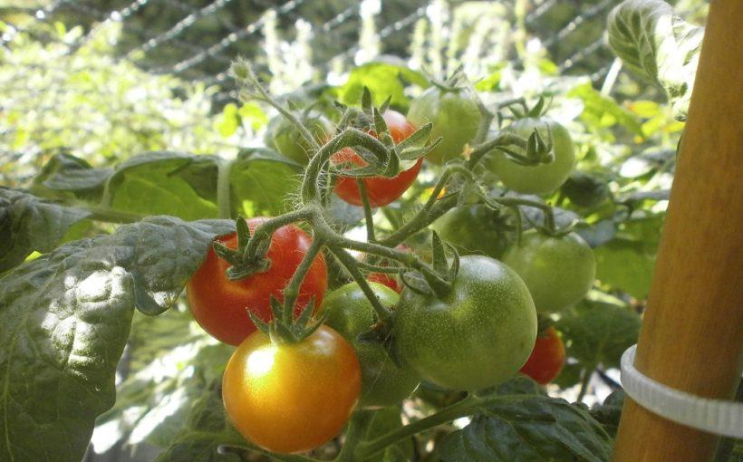 Atemberaubend Balkon-Tomaten & Co - Mein Nasch-Balkon #PN_16