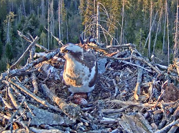 Nun ist auch das 2. Ei heute gelegt worden - ich bin gespannt, ob noch ein weiteres in den nächsten Tagen dazu kommt - 29.04.2019