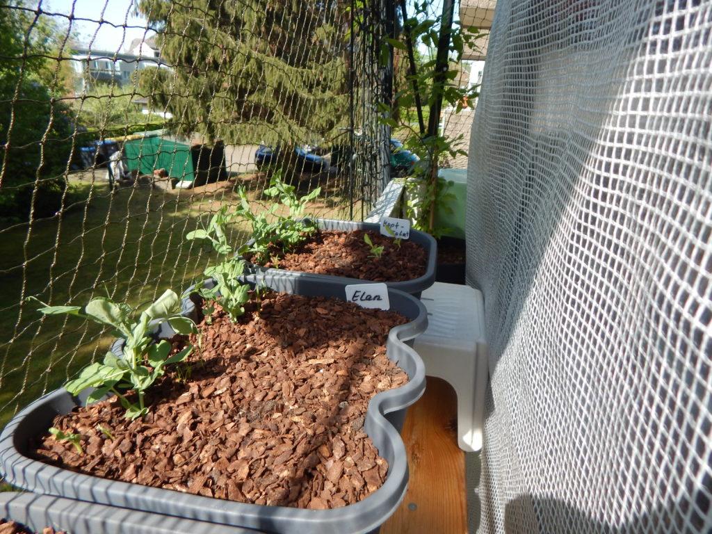 Zuckerschoten/Zuckererbsen, Möhren (Fingermöhren) im hinteren Teil des Behälters, vorne Erdbeersamen Elan F1 und selbst ausgesäter Kopfsalat.