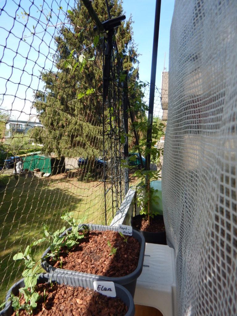 Ganz hinten, am Ende meines Balkons ist eine meiner Clematispflanzen im Kübel, die am Gitter hoch wächst