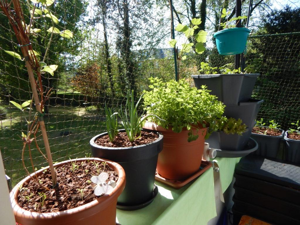 Ganz links im Bild, eine weitere Clematis, danach ein Kübel mit Zwiebeln, dazwischen sind Möhren (ebenso Fingermöhren) ausgesät. Anschließend meine Johannisbeersäule mit der Polsterglockenblume als Unterbepflanzung. Zu guter Letzt mein Erdbeerturm, zum Teil aber auch mit Salat und einer weiteren Polsterglockenblume bepflanzt. In der Hängeampel befinden sich weitere zwei Erdbeerpflanzen.