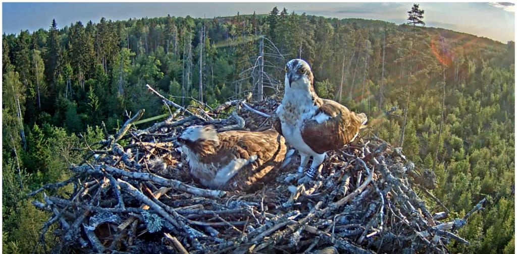 4. Juni - gerade sind beide Elterntiere im Nest
