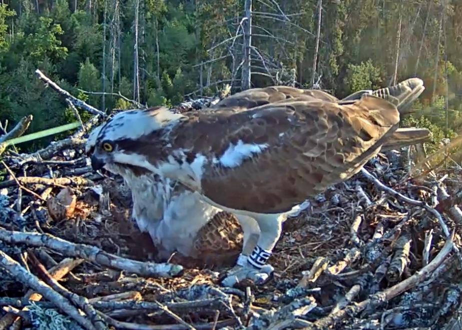 ... und sofort wird damit begonnen, das Nest von der leeren Eierschale zu befreien