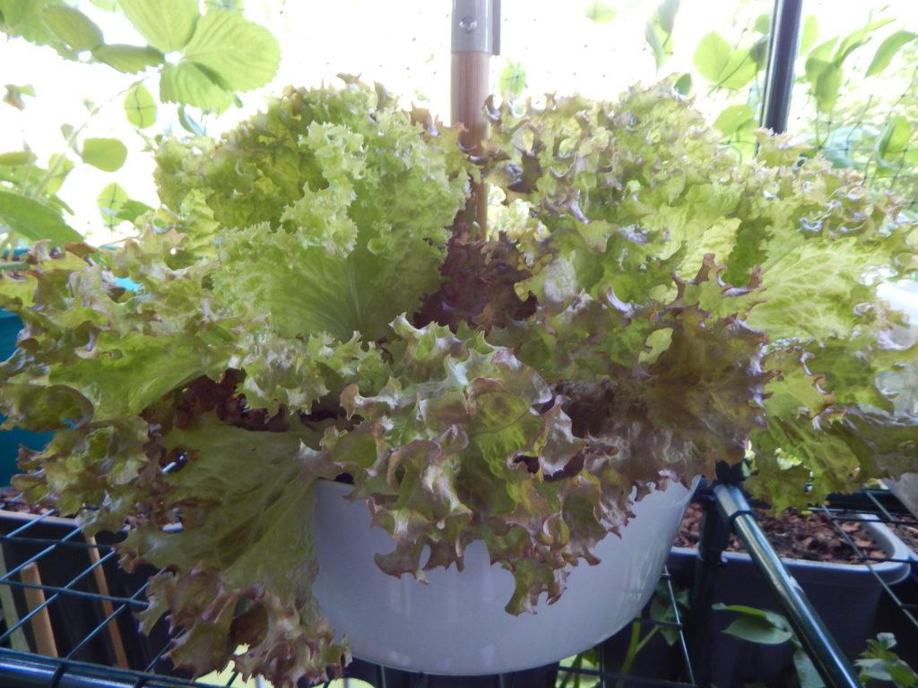 In diesem Hängetopf sind noch mal 3 Salatpflanzen