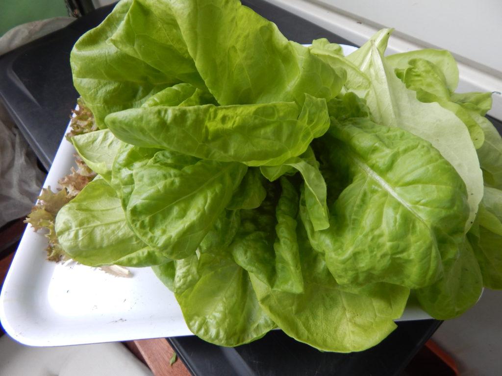 Das gibt eine große Salatschüssel heute Mittag