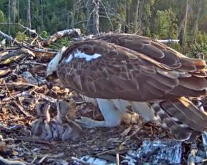 Fischadler-Nest in Estland mit Küken