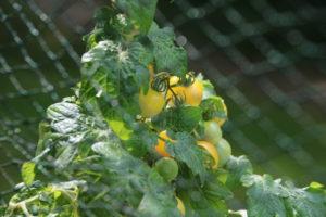 Gelbe Snack-Tomate