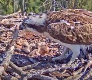 Fischadler-Nest in Estland