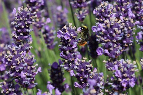 Lavendel 'Early Hidcote'