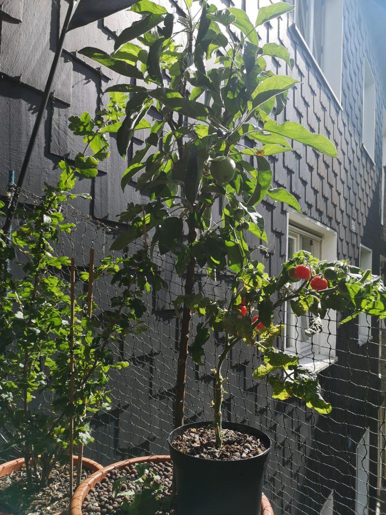 Apfelbaum auf Balkon