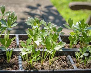 Jungpflanzen Maggikraut