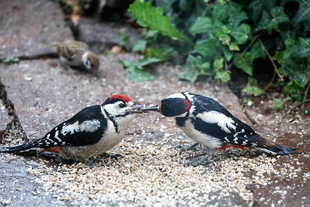 Specht füttert Jungvogel