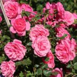 Zwerg-Kletterrose Starlet®-Rose 'Eva' ®