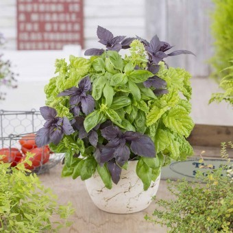 Basilikum Simply Herbs 'Try-Basil-Mix'