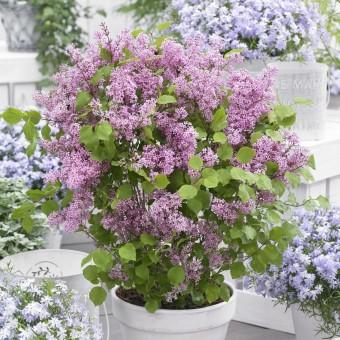 Zwerg-Flieder 'Flowerfesta®' - pink