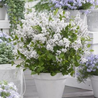 Zwerg-Flieder 'Flowerfesta®' - white