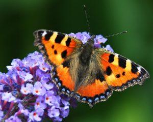Schmetterlingsflieder mit Schmetterling