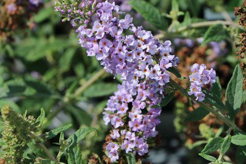 Zwerg-Sommerflieder / Schmetterlingsstrauch 'Lilac Chip' ®
