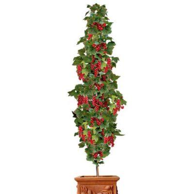 Säulen-Johannisbeere 'Rovada®', dunkelrot