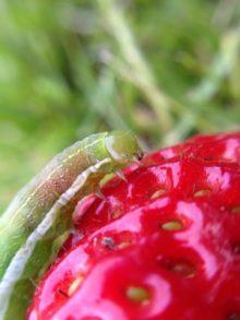 Raupe an Erdbeere